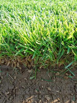 Καλλιέργεια χλοοτάπητα | More Green Έτοιμος χλοοτάπητα - γκαζόν